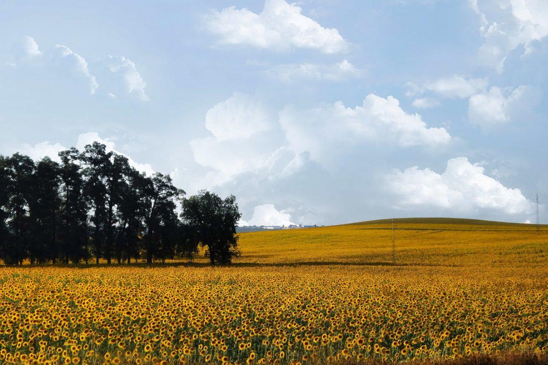 Campo de cultivo de girasoles